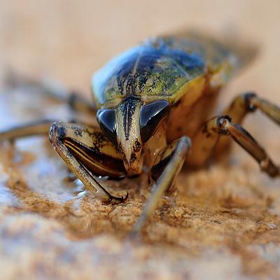 mr-hygiene-pest-control-leitrim-cockroach