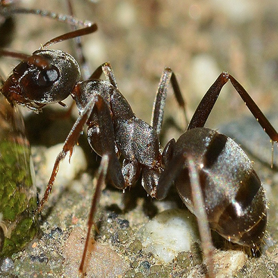 mr-hygiene-pest-control-sligo-ants