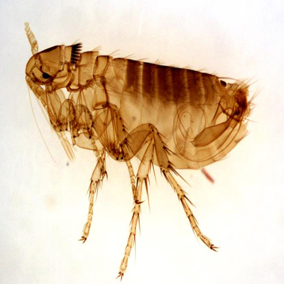 mr-hygiene-pest-control-sligo-fleas